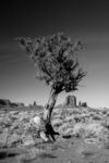 JUNIPER TREE Monument Valley NM